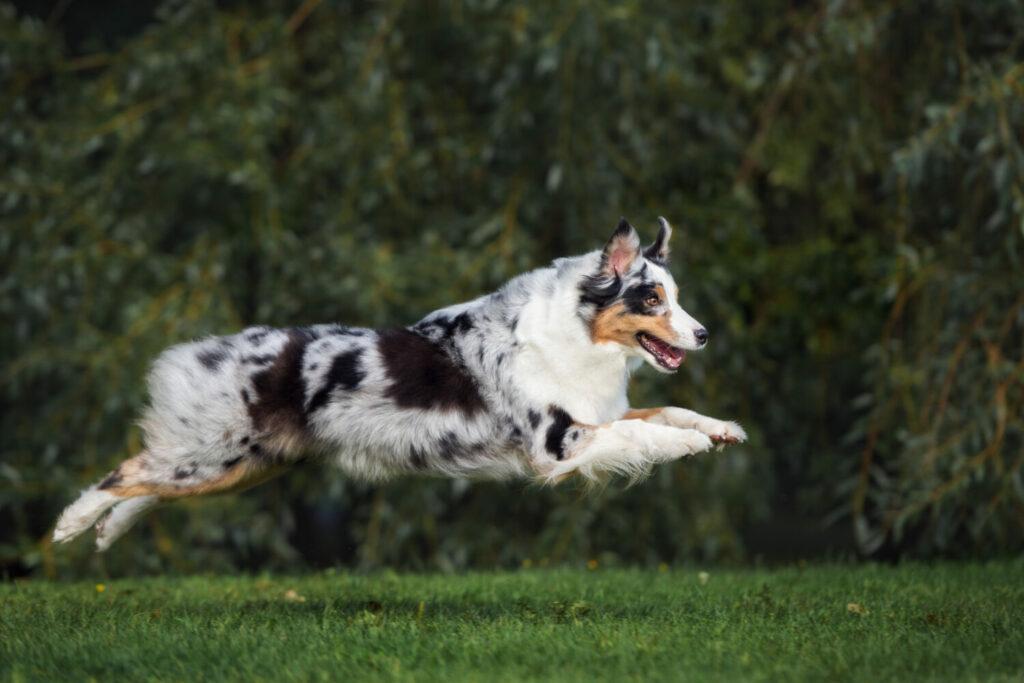 Australian Shepherd im Sprung