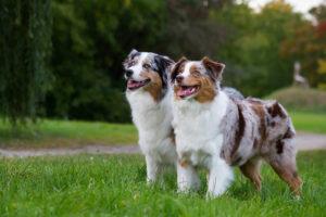 Zwei Australian Shepherds