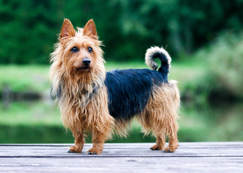 Australian Terrier in der Natur