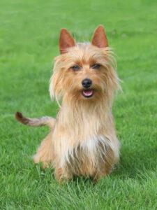 Australian Terrier im Rasen