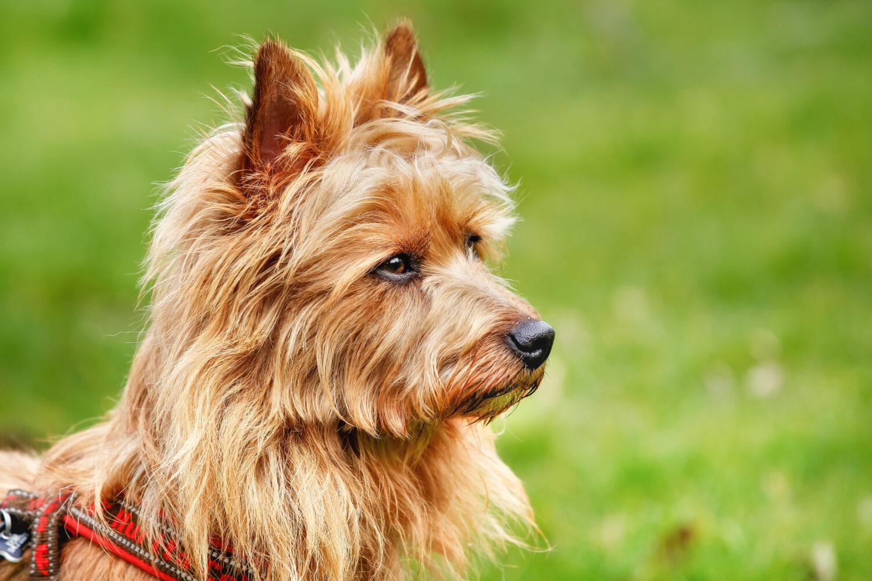 Australian Terrier von der Seite