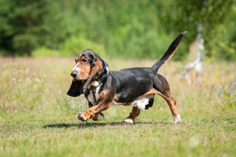 Um die Gesundheit des Hundes zu gewährleisten, sollte auf die Seriosität des Züchters geachtet werden
