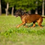 Bayerische Gebirgsschweißhund im Rasseportrait