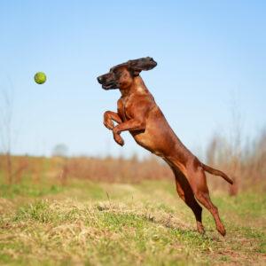 Bayerischer Gebirgsschweißhund im Sprung