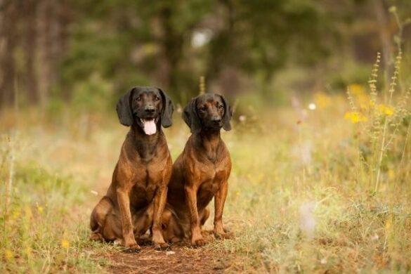 Bayerischer Gebirgsschweißhund im Rasseportrait