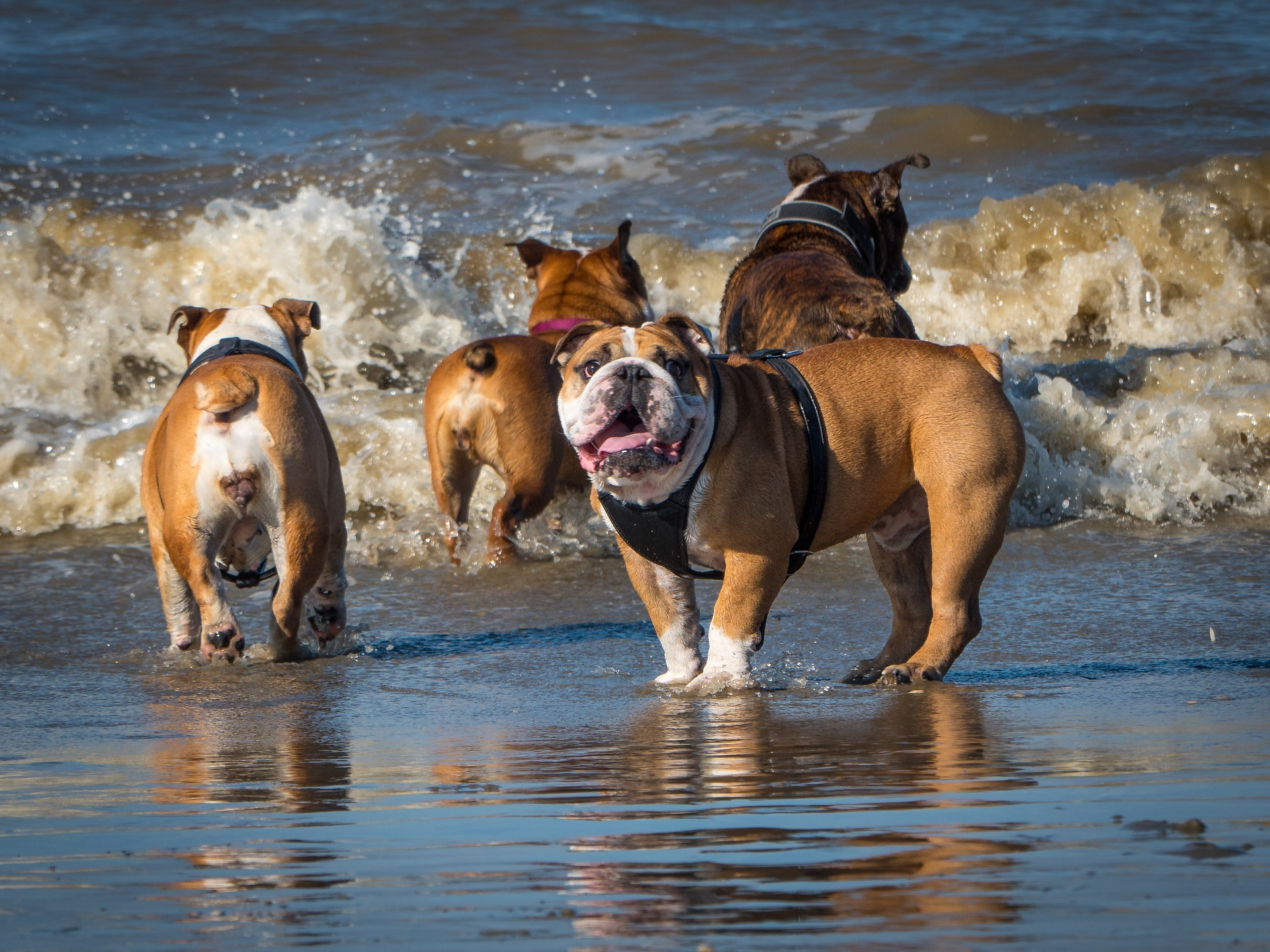 Englische Bulldoggen am Strand