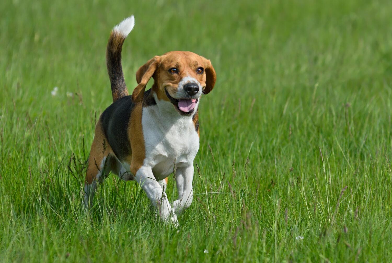 Beagle im Auslauf