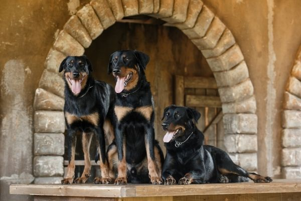 Beauceron in Gruppe
