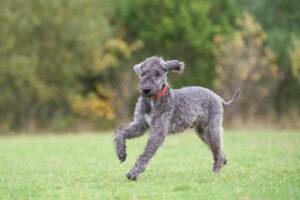 Bedlington Terrier im Auslauf