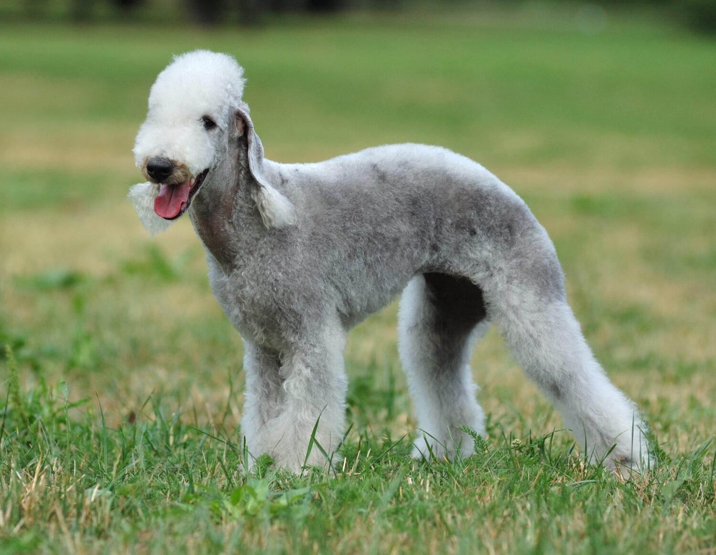 Bedlington Terrier in der Natur