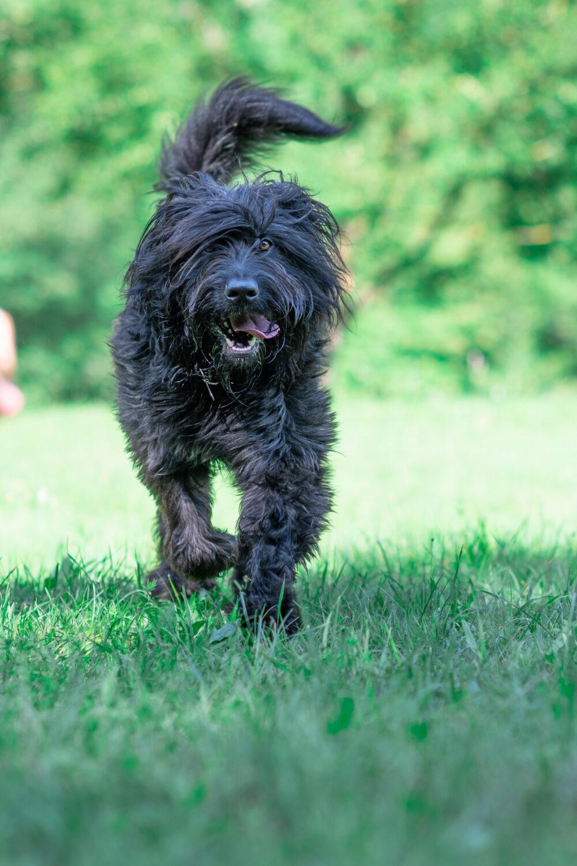 Bergamasker Hirtenhund im Auslauf