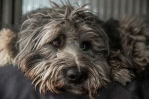 Bergamasker Hirtenhund Gesicht