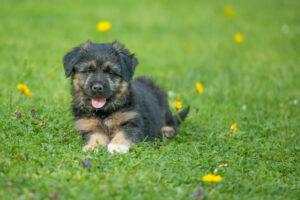 Bergamasker Hirtenhund Welpe
