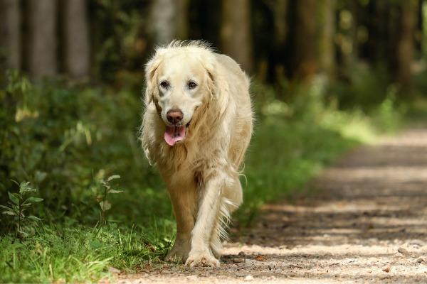Blindenhund alter Golden Retriever
