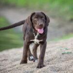 Blindenhund Labrador Retriever