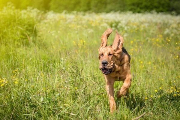 Bloodhound im Rasseportrait