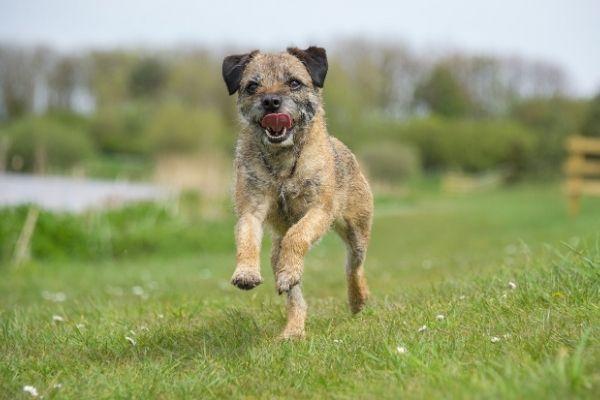 Border Terrier im Rasseportrait