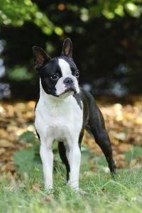 Boston Terrier auf Wiese