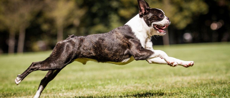 Boston Terrier Auslauf