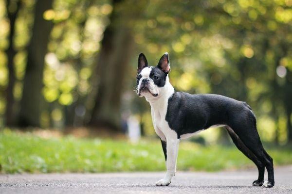 Boston Terrier von der Seite