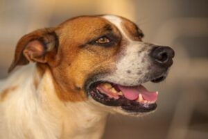 Brasilianischer Terrier Gesicht