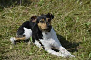 Brasilianischer Terrier im Liegen