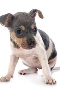 Brasilianischer Terrier Welpe