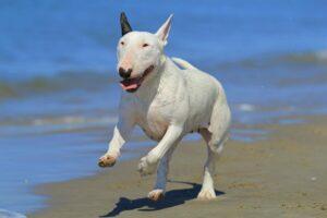 Bullterrier rennt am Strand
