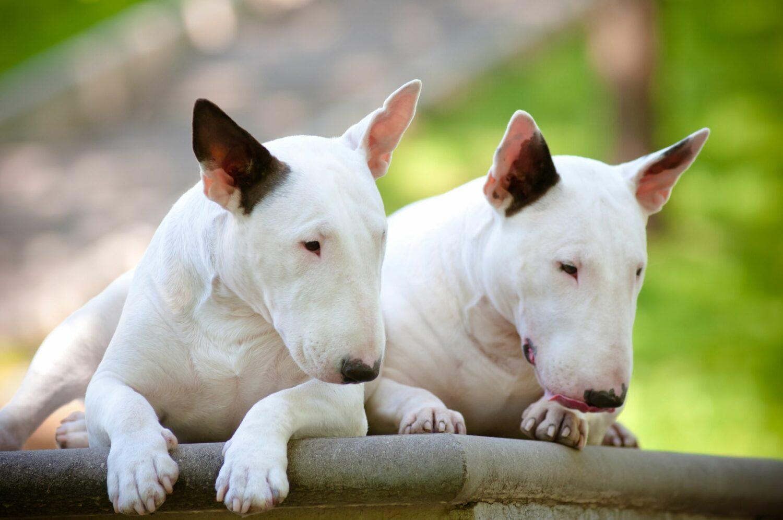 Zwei Bullterrier in Nahaufnahme