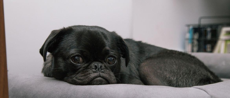 Französische Bulldogge liegt auf einem Hundebett