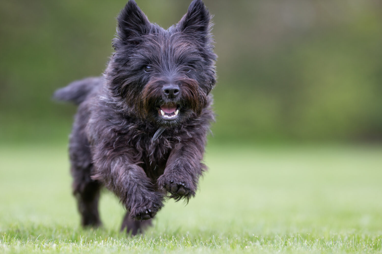 Cairn Terrier im Rasseportrait