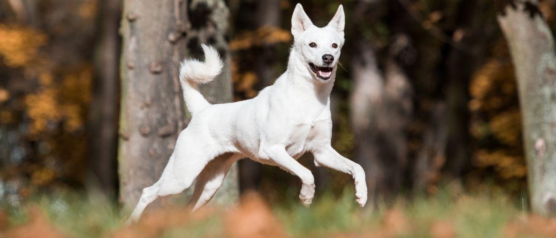Canaan Dog Auslauf