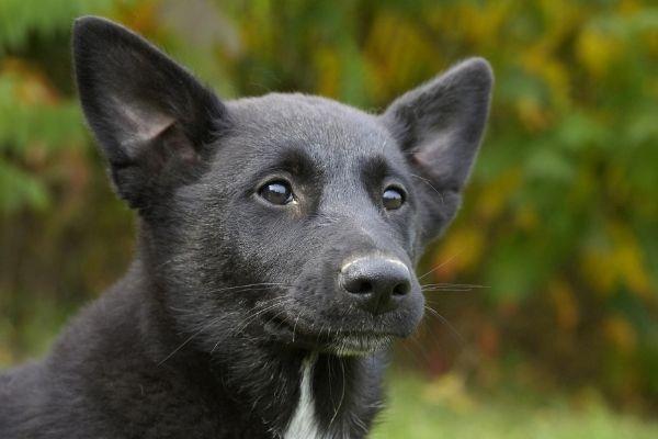 Canaan Dog Gesicht