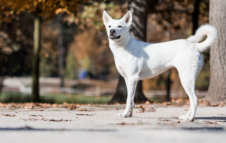 Canaan Dog in der Natur