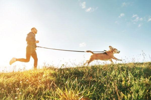 Canicross Beagle