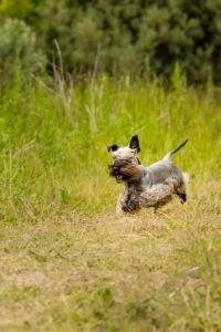 Cesky Terrier Auslauf