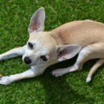 Chihuahua Kurzhaar