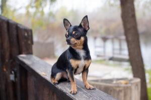 Chihuahua sitzend