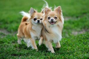 Chihuahua zu zweit