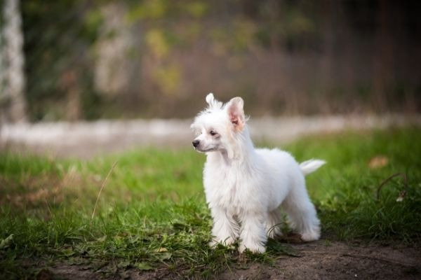 Chinesischer Schopfhund Powder Puff in der Natur
