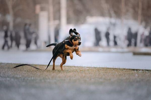 Coonhound im Auslauf