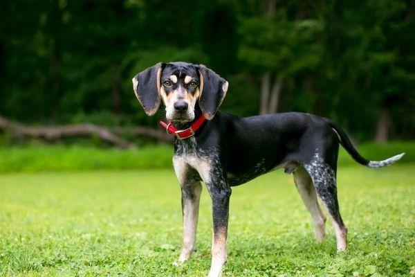 Coonhound im Stehen