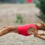 Coursing: Windhund von der Seite in einer roten Weste im Hetzlauf