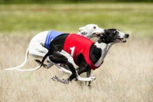 Zwei Windhunde im Hetzlauf beim Coursing durch ein Feld