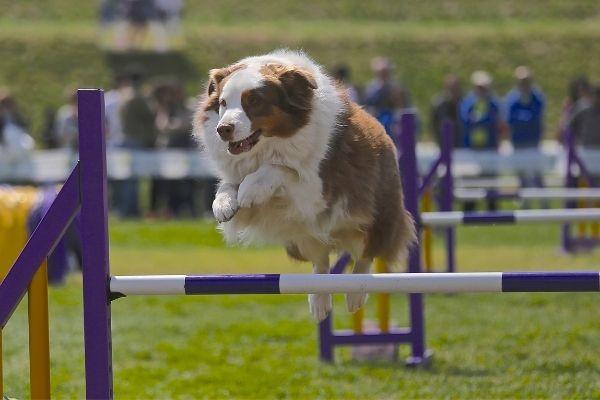 Hund überspringt ein Hindernis beim Crossdogging