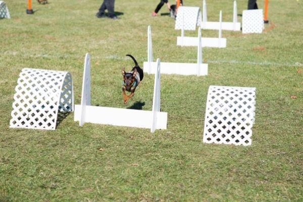 Crossdogging: Hund läuft durch einen Parcours