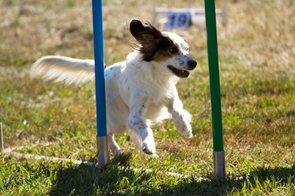 Crossdogging: Hund läuft durch Slalomstangen