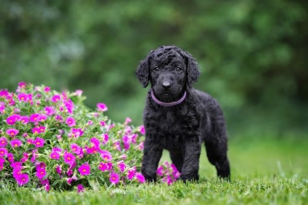 Curly Coated Terrier Welpe