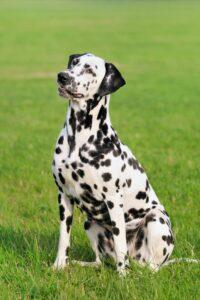 Der schlanke Dalmatiner hat geflecktes Fell