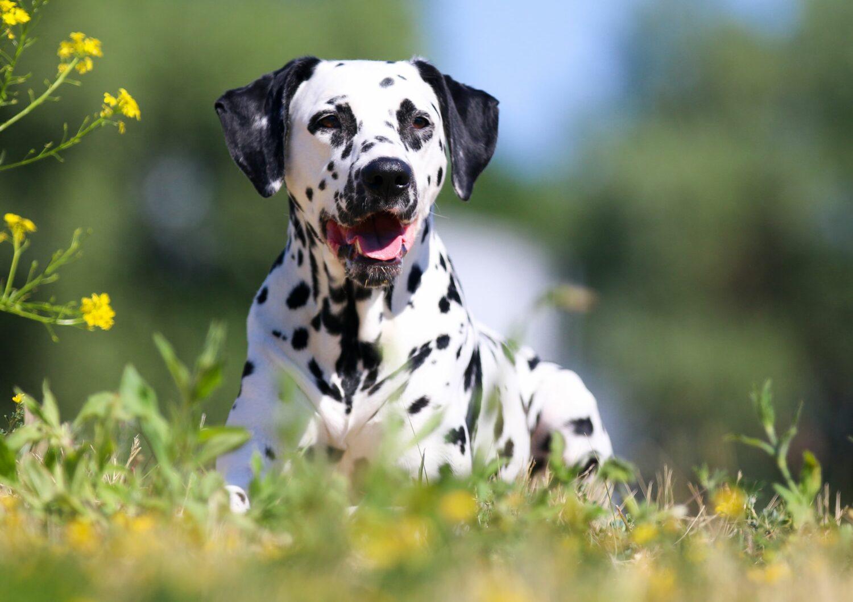 Dalmatiner in der Natur